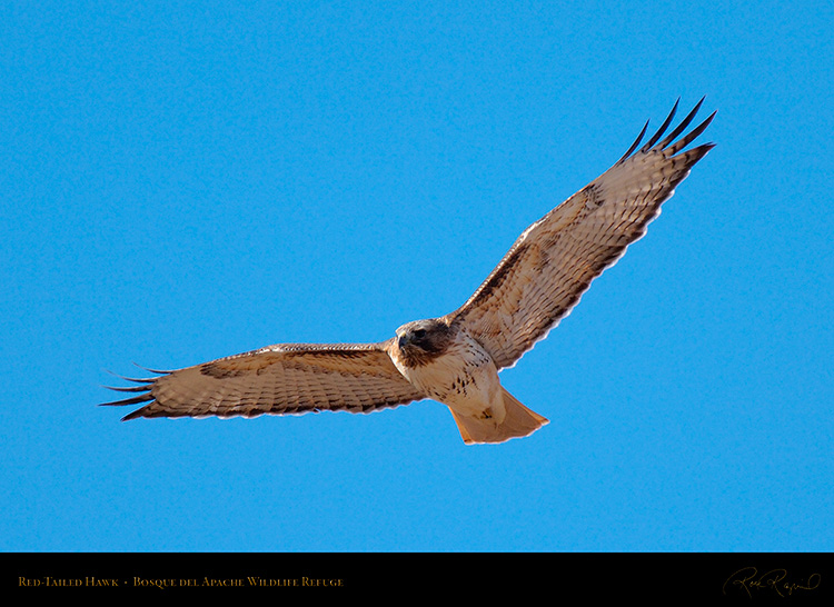Red-Tailed_Hawk_X3336