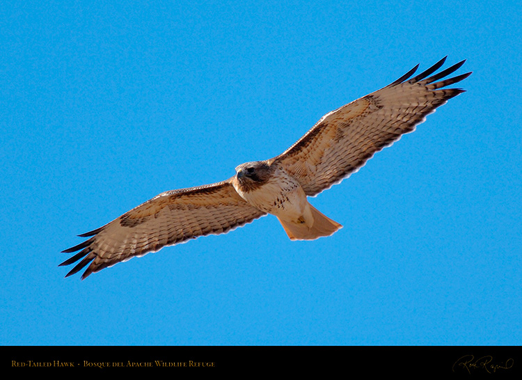 Red-Tailed_Hawk_X3337