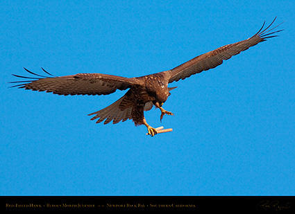 RufousMorph_Red-Tail_Juvenile_4292