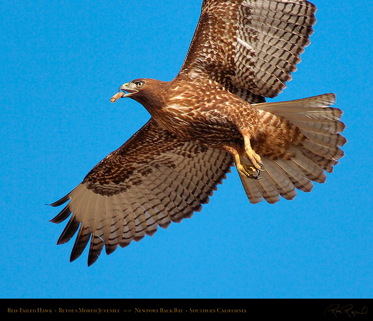RufousMorph_Red-Tail_Juvenile_4294M