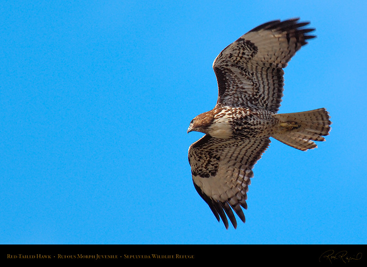 RufousMorph_Red-Tail_Juvenile_X2781