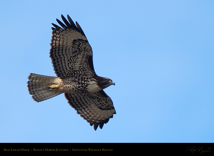 RufousMorph_Red-Tail_Juvenile_X2785