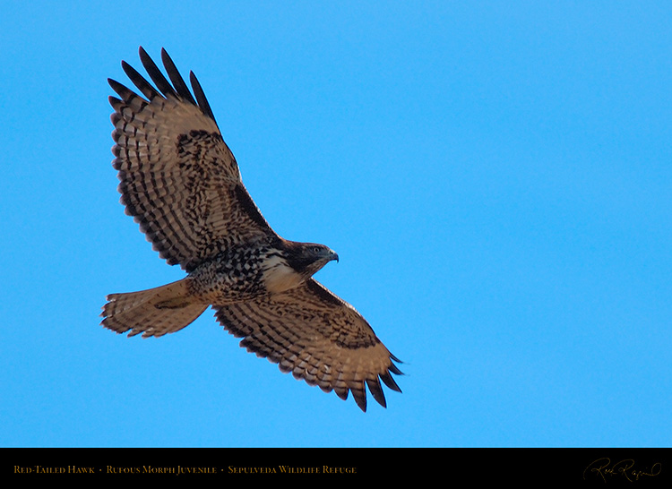 RufousMorph_Red-Tail_Juvenile_X2790