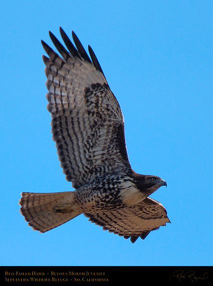 RufousMorph_Red-Tail_Juvenile_X2792c