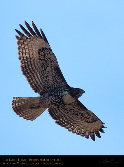 RufousMorph_Red-Tail_Juvenile_X2809c