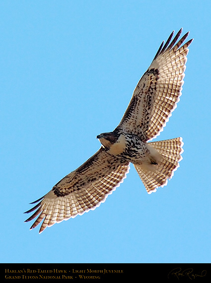 Harlans_Red-Tail_LightMorph_Juvenile_0708c