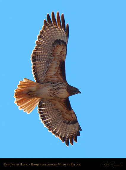 Red-Tailed_Hawk_X9047