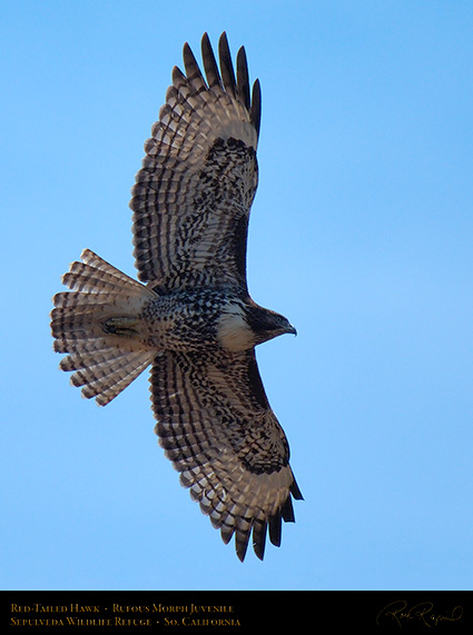 RufousMorph_Red-Tail_Juvenile_X2805