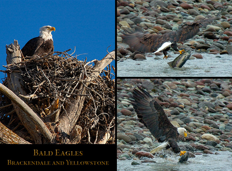 Northern_Eagles