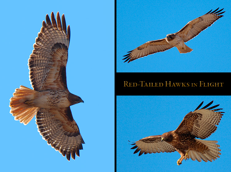 Red-Tail_Flight