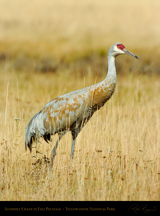 SandhillCrane_Yellowstone_9547
