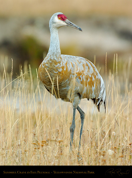 SandhillCrane_Yellowstone_9614