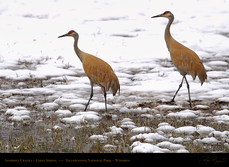 SandhillCranes_EarlySpring_6886