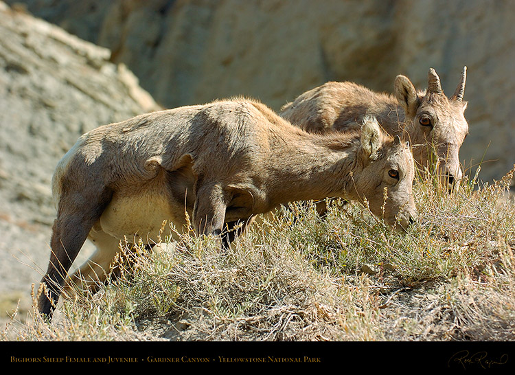 BighornSheep_FemaleJuvenile_GardnerCanyon_1293