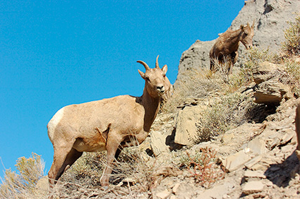 BighornSheep_FemaleJuvenile_GardnerCanyon_1296