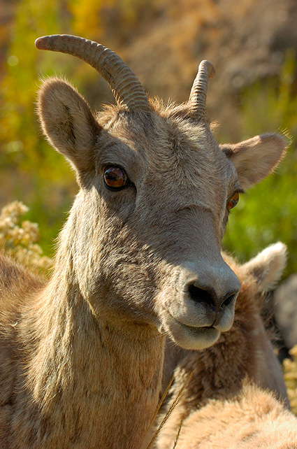 BighornSheep_Female_GardnerCanyon_1191
