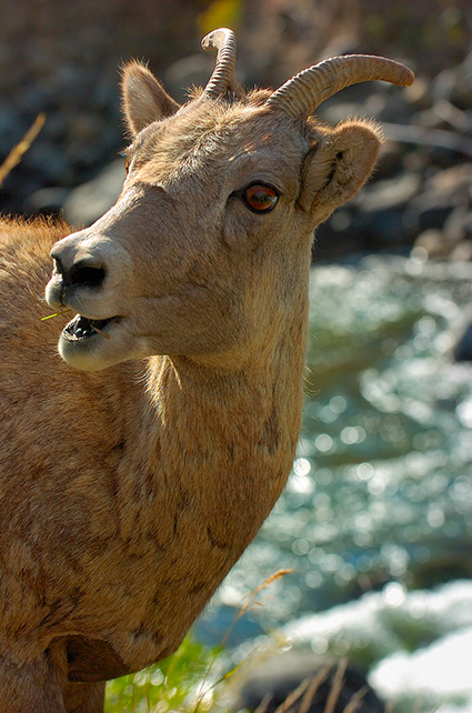 BighornSheep_Female_GardnerCanyon_1220