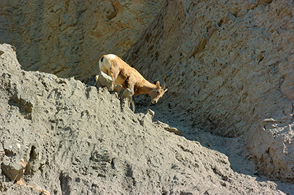 BighornSheep_Female_GardnerCanyon_1224