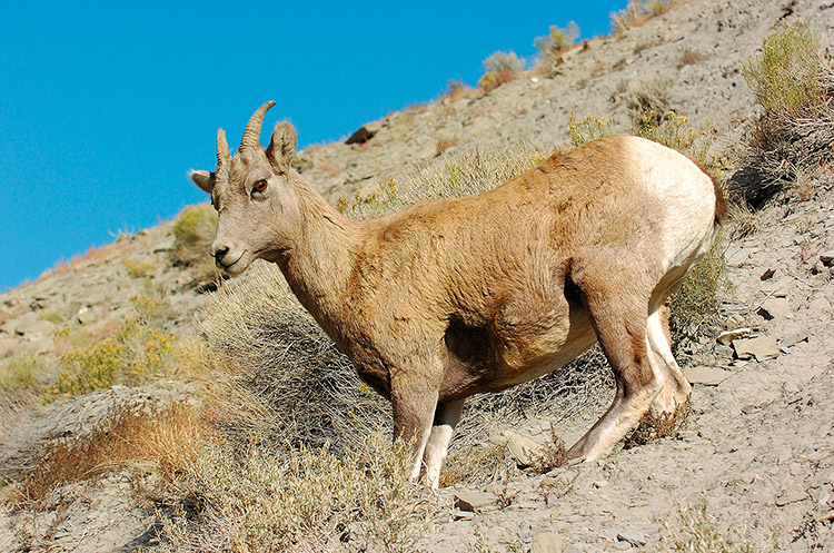 BighornSheep_Female_GardnerCanyon_1254