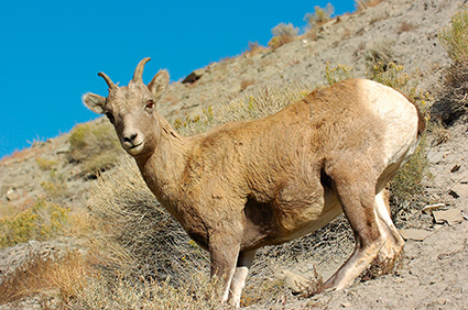 BighornSheep_Female_GardnerCanyon_1255