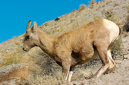 BighornSheep_Female_GardnerCanyon_1259