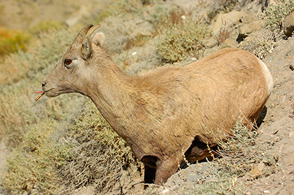 BighornSheep_Female_GardnerCanyon_1301