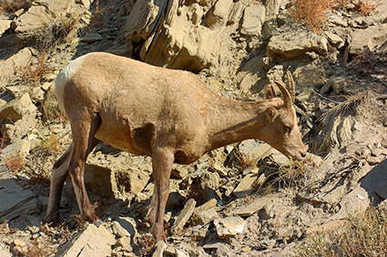 BighornSheep_Female_GardnerCanyon_1305