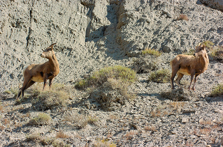 BighornSheep_Females_GardnerCanyon_1236