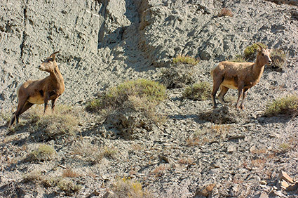 BighornSheep_Females_GardnerCanyon_1239
