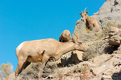 BighornSheep_Females_GardnerCanyon_1294