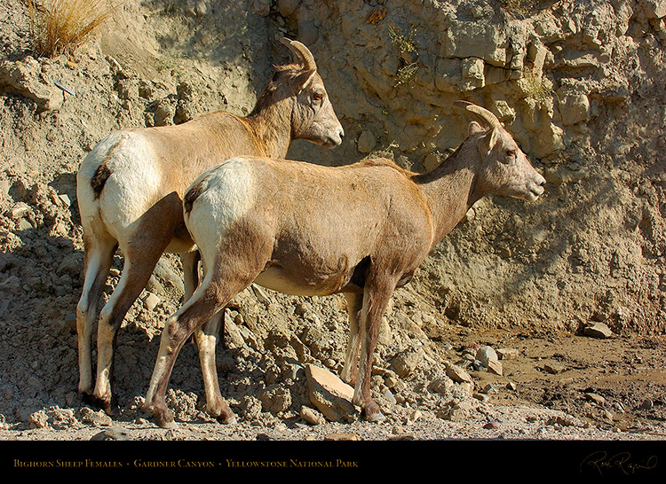 BighornSheep_Females_GardnerCanyon_1307