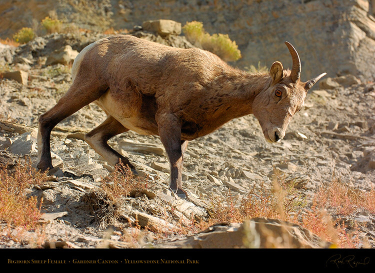BighornSheep_Female_GardnerCanyon_1263
