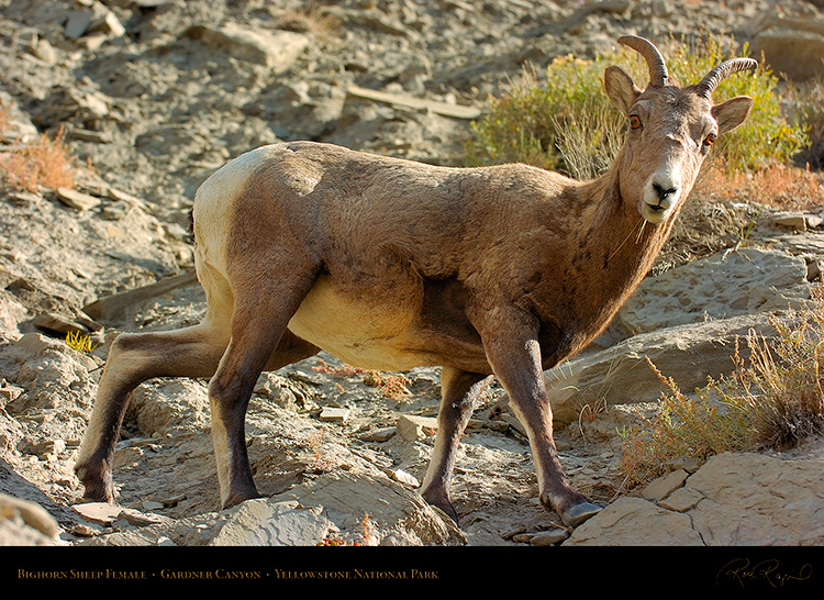 BighornSheep_Female_GardnerCanyon_1283