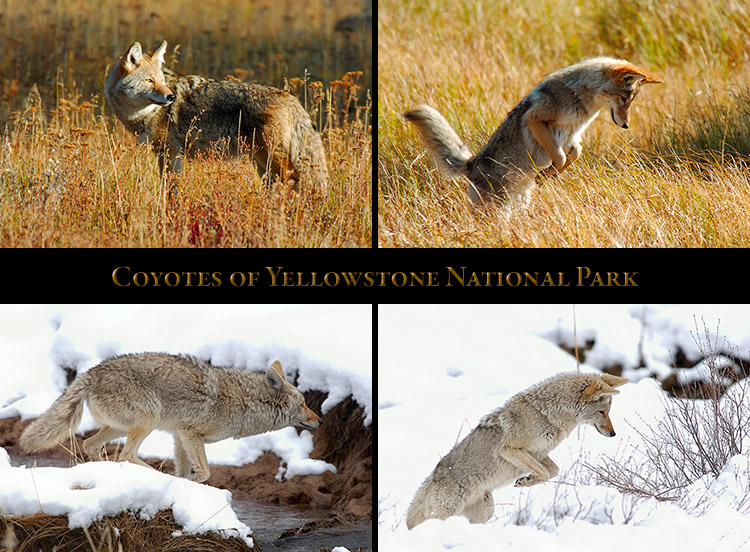Coyote_Yellowstone