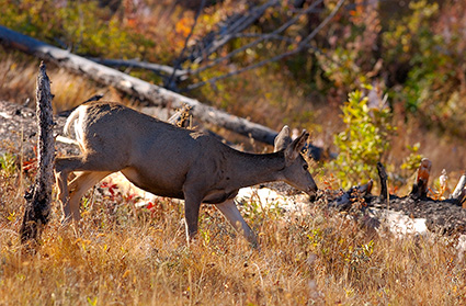 MuleDeer_TowerJunction_9337
