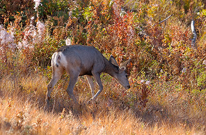 MuleDeer_TowerJunction_9341