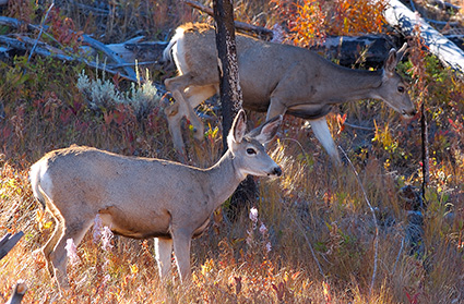 MuleDeer_TowerJunction_9348