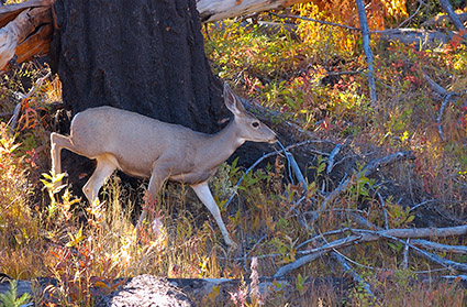 MuleDeer_TowerJunction_9350