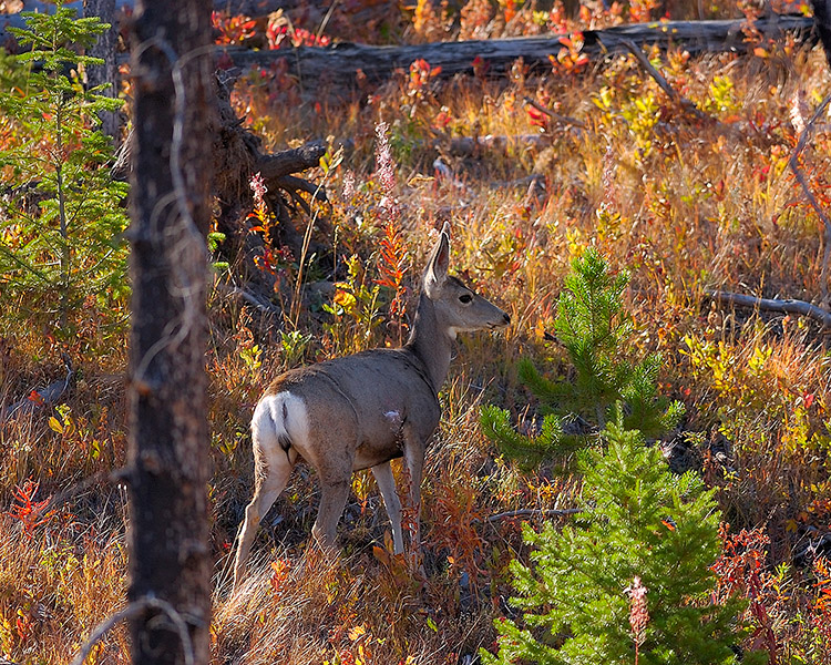 MuleDeer_TowerJunction_9359M