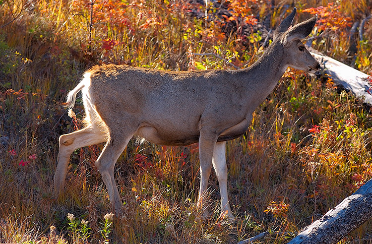 MuleDeer_TowerJunction_9366
