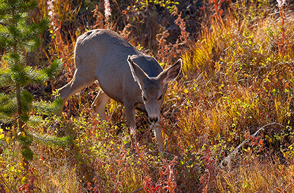MuleDeer_TowerJunction_9370