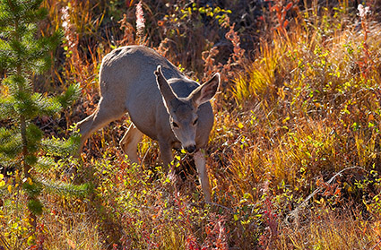 MuleDeer_TowerJunction_9372