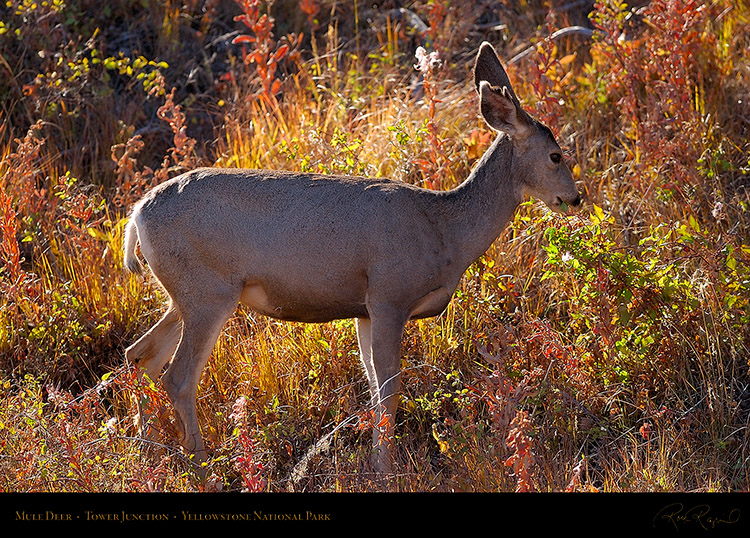 MuleDeer_TowerJunction_9377