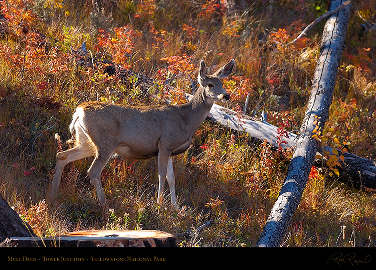MuleDeer_TowerJunction_9365