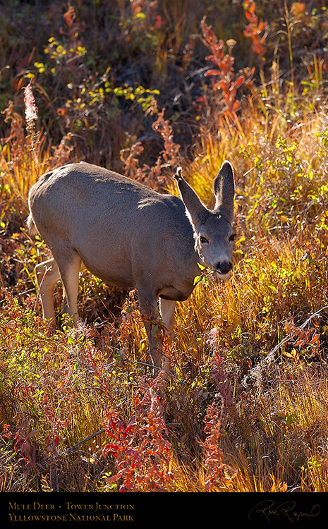 MuleDeer_TowerJunction_9374