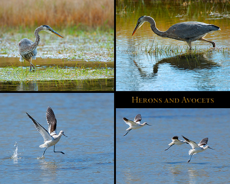 Herons_andAvocets
