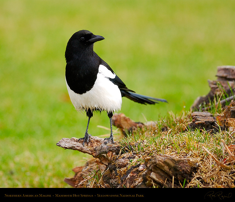 Magpie_MammothHS_5835M