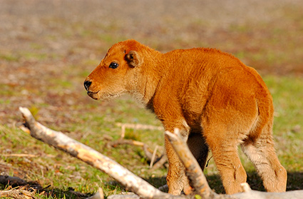 Bison_NewbornCalf_7204