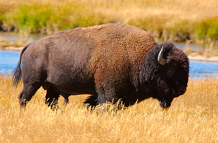 Bison_NezPerceCreek_9508