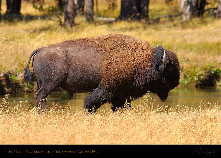 Bison_NezPerceCreek_9515